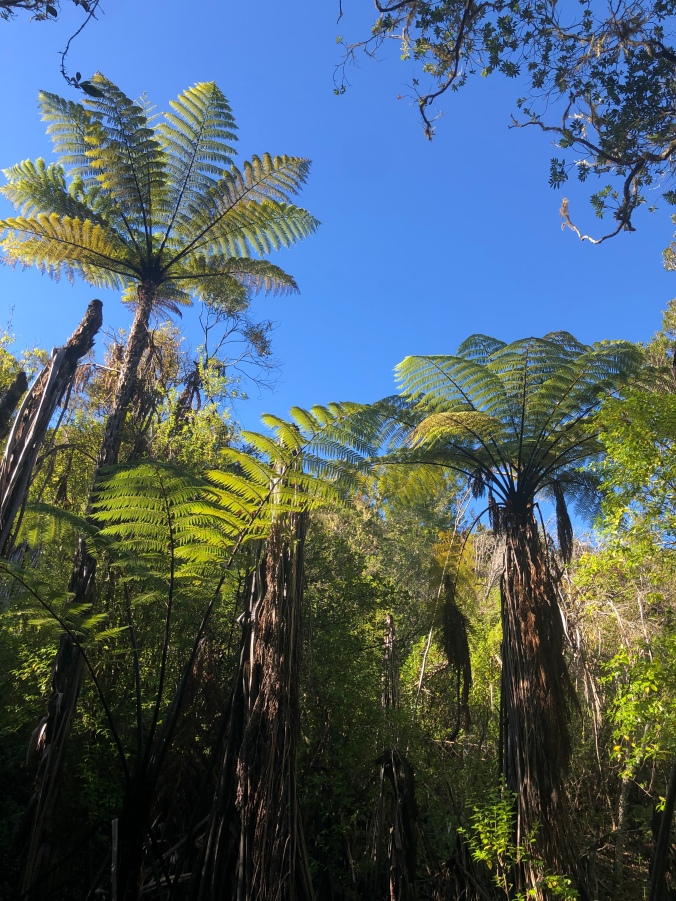 Towering New Zealand tree ferns